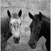 Black and white horses - horses icon