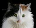 Cat - cats fan art
