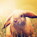 Field rabbit - bunny-rabbits icon