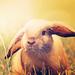Field rabbit - bunny-rabbits icon