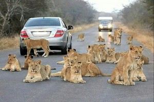 lions in road
