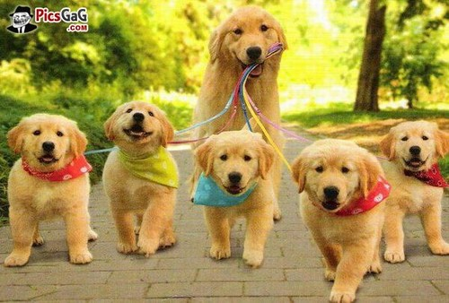 Dogs wallpaper containing a golden retriever titled A family of dogs