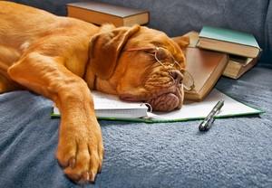 Bordeaux French mastiff