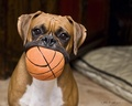 Boxer - dogs photo