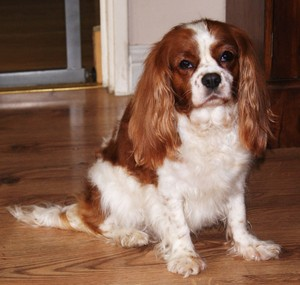 Cavalier King Charles épagneul chienne