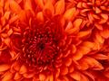 Chrysanthemum - my-little-pony photo