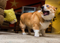 Corgi              - dogs photo