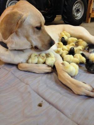 Dog and Chicks