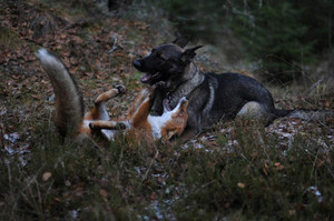 Dog and rubah, fox