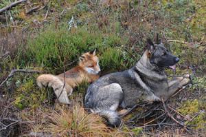 Dog and rubah, fox