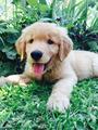 Golden Retriever - dogs photo