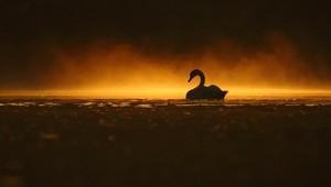 angsa, swan