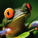 Tree Frog - frogs icon