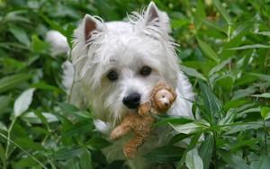 West Highland giống chồn, chó sục, chó săn terrier