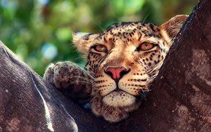 leopard eyes cây