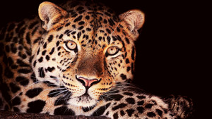 leopard in árvore wallpapers HD animais 1600x900