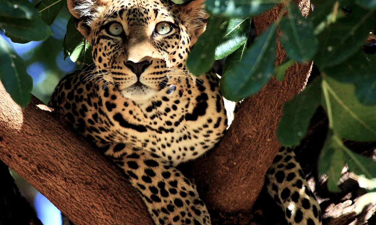 leopard in tree picture kenya wallpaper national geographic wallpaper widescreen desktop national ge