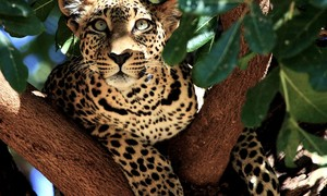 leopard in árvore picture kenya wallpaper national geographic wallpaper widescreen desktop national ge