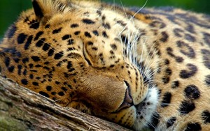 leopard sleeping on বৃক্ষ close up 7680x4320