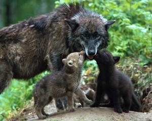 নেকড়ে mom and pups