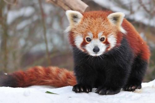 Red Pandas پیپر وال possibly with a lesser panda titled ADORABLE!!!!!!!!!