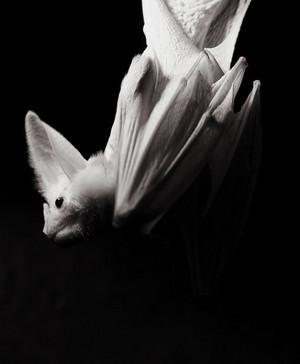Albino Bat