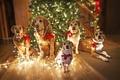 Christmas Puppies  - christmas photo