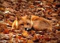 Fox - animals photo