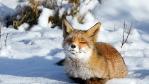 fox, mbweha in the Snow