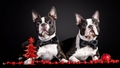 French Bulldogs - dogs wallpaper