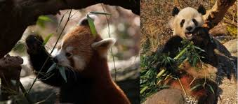 Red Pandas پیپر وال titled I love pandas i am even doing a research on them