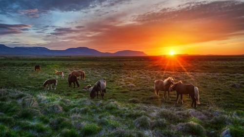 farasi karatasi la kupamba ukuta with a herder entitled Icelandic farasi