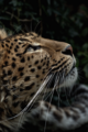 Leopard  - animals photo