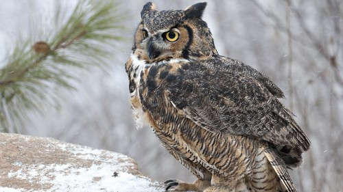 Owls fond d'écran containing a great horned owl, a horned owl, and a screech owl entitled Majestic Owl
