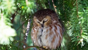 Peaceful Owl
