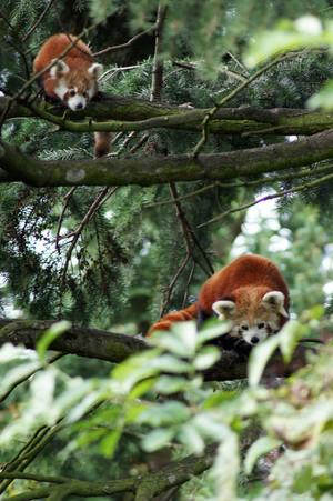 Red पांडा