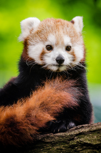 Red Pandas پیپر وال possibly containing a lesser panda entitled Red Pandas