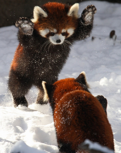 Red Pandas Hintergrund titled Red Pandas