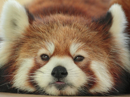 Red Pandas wolpeyper entitled Red Pandas