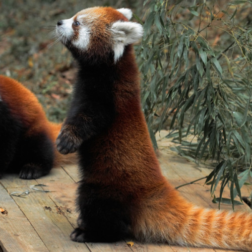 Red panda karatasi la kupamba ukuta called Red panda