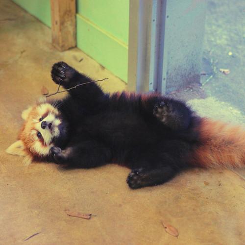 Red panda karatasi la kupamba ukuta titled Red panda