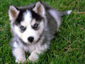 Siberian Husky Puppy - siberian-huskies photo