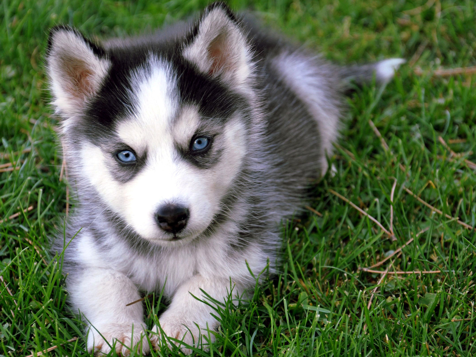 Siberian Huskies Images Siberian Husky Puppy Hd Wallpaper And