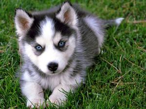 Siberian Husky कुत्ते का बच्चा, पिल्ला