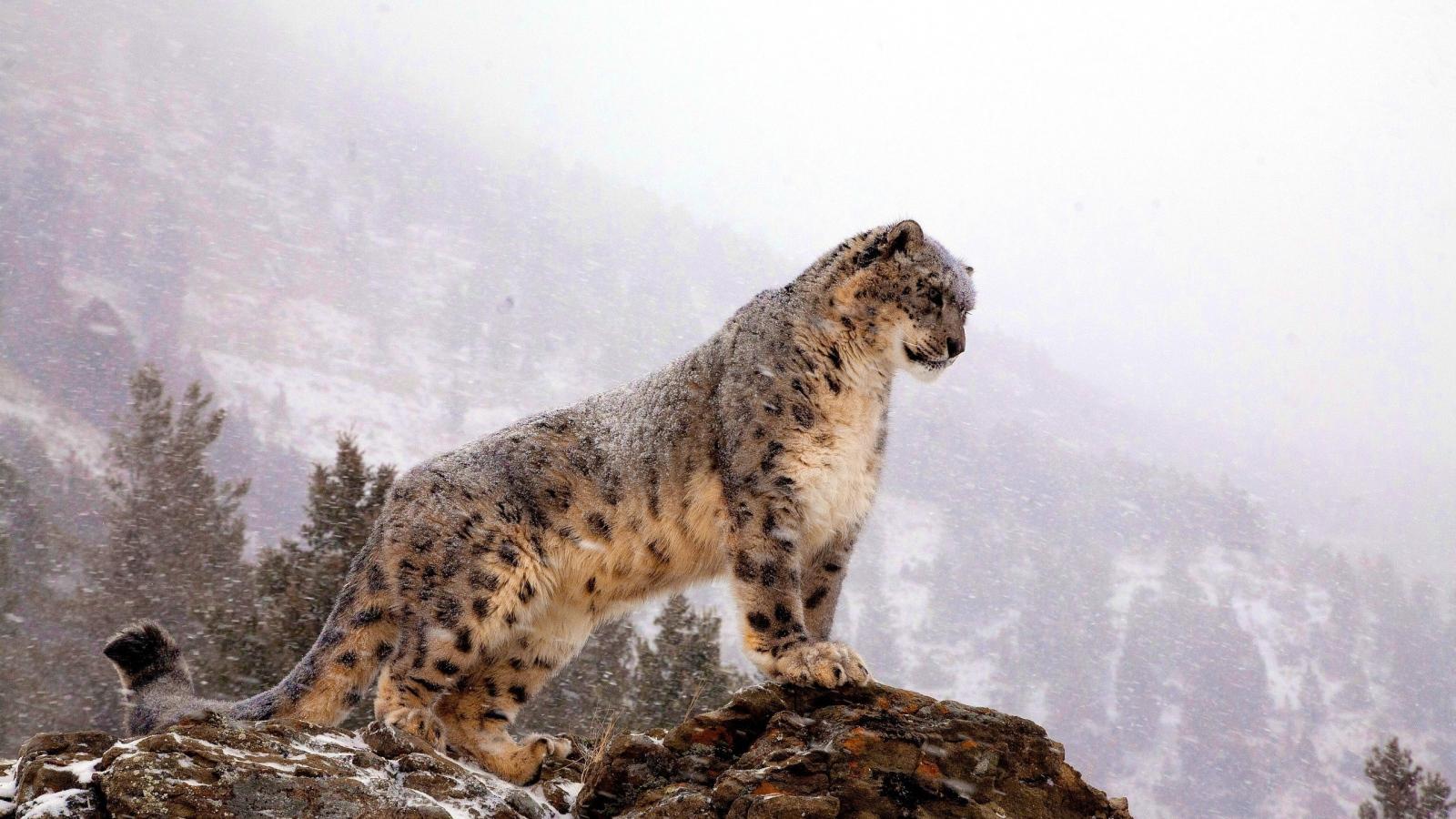 豹 豹子 壁纸 动物 桌面 1600_900