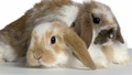 Sweet Bunnies - bunny-rabbits wallpaper