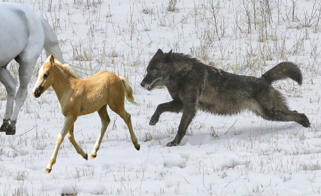 The Lone Black Wolf Chasing Down An Beautiful Wild Horse And Her Foal Wolves Fan Art 39000797 Fanpop