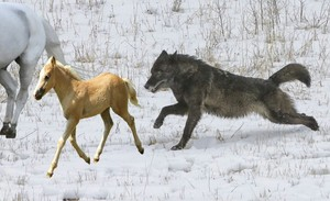 The lone black भेड़िया chasing down an beautiful wild horse and her बछेड़ा, फोल
