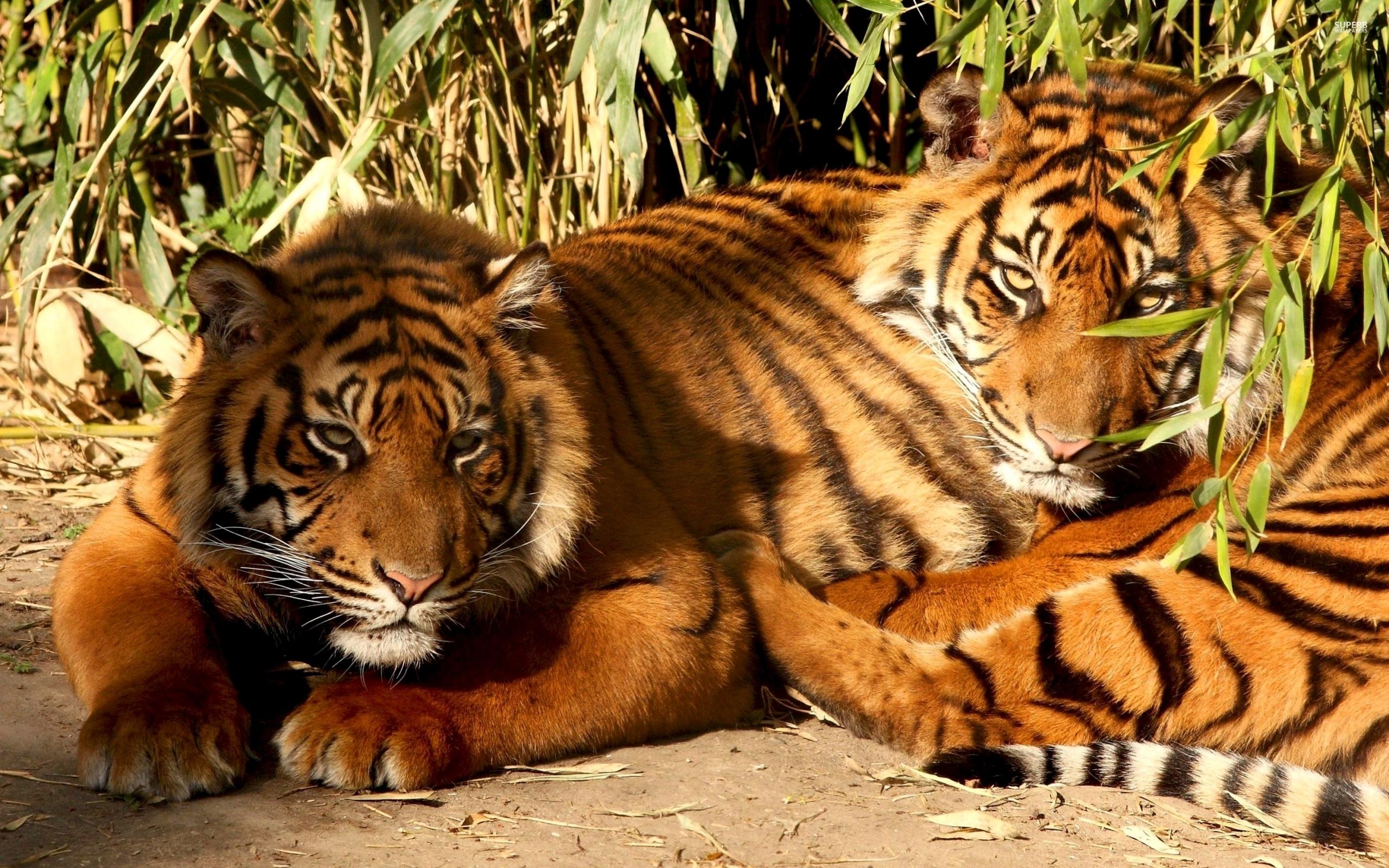 动物images 老虎 hd wallpaper and background photos