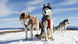Working Huskies
